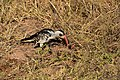 Red-billed hornbill, Ruaha National Park (5) (28404363494).jpg