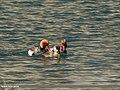 Red-crested Pochard (Netta rufina) (35000935072).jpg