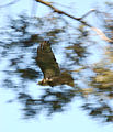 Red-tailed Hawk Buteo jamaicensis Flying 2000px.jpg