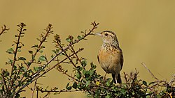 Red-winged Lark.jpg