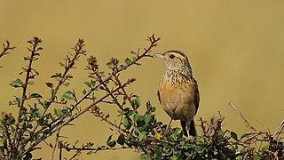 Red-winged lark species of bird