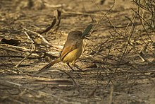 Red-winged Prinia eating a grasshopper - Gambia (32527882031).jpg