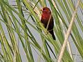 Red Avadavat, Chappar Chiri wildlife sactuary, Mohali, Punjab , India.JPG