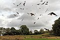 Red Kites - Gigrin Farm (10377678735).jpg