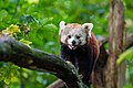 Red Panda (37469323512).jpg