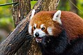Red Panda (37661042835).jpg