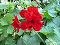 Red Pelargonium flower in Singapore.jpg