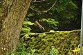 Red squirrel in Snaizeholme (7077).jpg