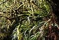 Redwood temperate rainforest.jpg