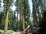 Redwoodfallentree.jpg