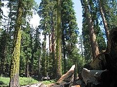 Redwoodfallentree