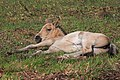Resting New Forest foal - geograph.org.uk - 437806.jpg