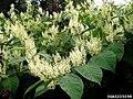 Reynoutria japonica flower (07).jpg
