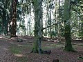 Rhinefield, a branch shared between two trees - geograph.org.uk - 1019641.jpg