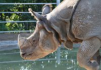 Rhino from the San Diego Zoo