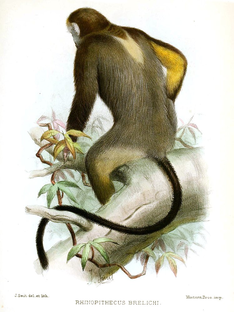 The average adult weight of a Gray snub-nosed monkey is 12.3 kg (27.12 lbs)