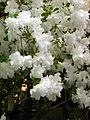 Rhododendron 'Adonis' 02.jpg