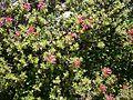 Rhododendron hirsutum RHu 04.JPG