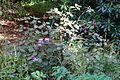 Rhododendron orbiculare - Caerhayes Castle gardens - Cornwall, England - DSC03225.jpg