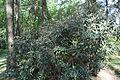 Rhododendron smirnowii in Botanical garden, Minsk 01.JPG