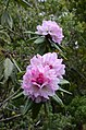 Rhododendron sp. (33122782580).jpg