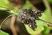 Ricania speculum-Kadavoor-2016-06-23-001.jpg