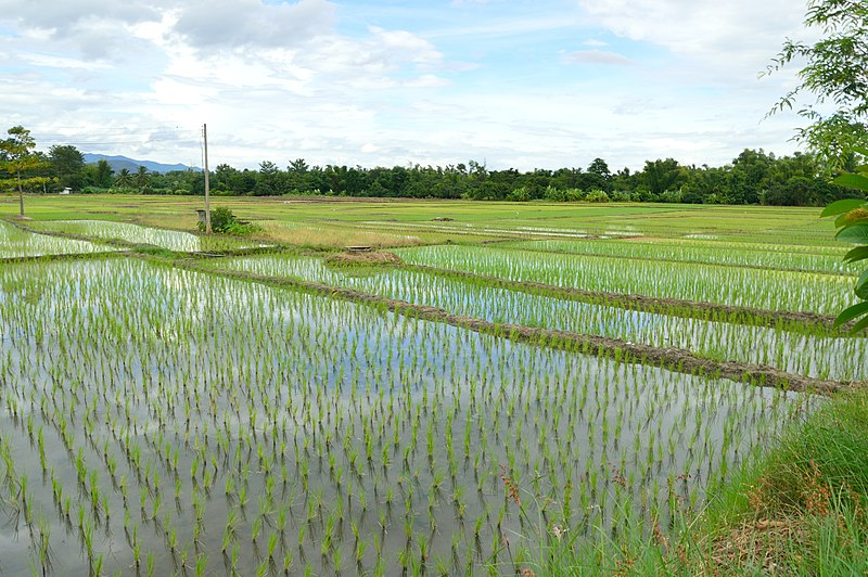 File:Rice fields near Doi Inthanon NP.JPG