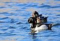 Ring-necked Duck on Seedskadee National Wildlife Refuge (26214707045).jpg