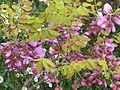 Robinia hispida - Flickr - peganum (1).jpg