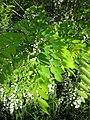 Robinia pseudoacacia 8.jpg