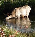 Rocky Mountain National Park in September 2011 - female Elk drinking from stream in Morain Park.JPG