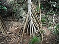 Root of Pandanus boninensis Chichijima Ogasawara Japan.jpg