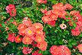 Rosa 'Coral Drift'.jpg