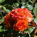 "Rosa ""Bea"". 04.jpg"