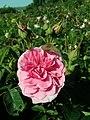 Rosa Gertrude Jekyll 2019-06-04 6180.jpg