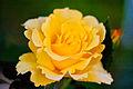 Rose, Cl. Gold Bunny - Flickr - nekonomania (2).jpg