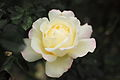 Rose, Garden Party (4615199863).jpg