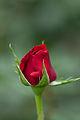 Rose, Konrad Henkel3.jpg