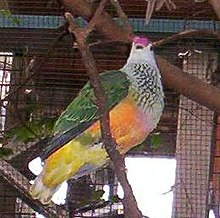 Rose-crowned-Fruit-dove-BFP.jpg