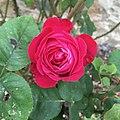 "Rose ""Gloire de Dijon"" x ""Papa Meilland"".jpg"