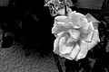 Rose (3109031865).jpg