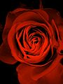 Rosenblüte.jpg