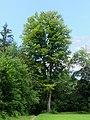 Rotbuche am Rhombergstein 1.jpg