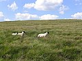 Rough grazing at Stanygill Rig - geograph.org.uk - 520614.jpg