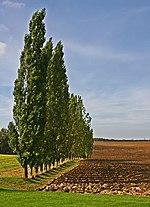 Row of Poplar Trees - geograph.org.uk - 242206.jpg