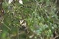 Rubia peregrina-6033.jpg