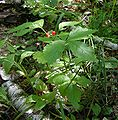 Rubus saxatilis20050923 01.jpg