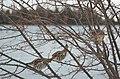 Ruffed Grouse on Drummond Island - 49368212301.jpg