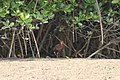 Rufous-necked Wood-rail (Aramides axillaris) (3323635961).jpg