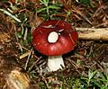 Russula sp. - Flickr - S. Rae (2).jpg